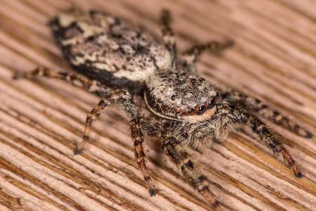 salticidae: Jumping spider walking on the kitchen table Stock Photo
