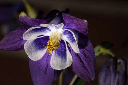 Aquilegia growing in my garden photo
