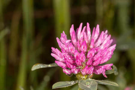 Clover growing on our meadows photo