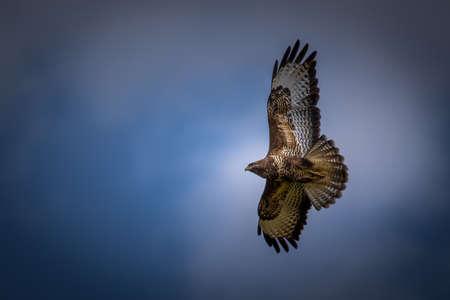 Buzzard en face de bleu, ciel nuageux.
