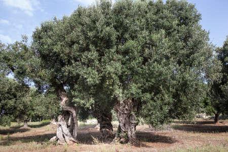 puglia: Olives in Salento and in Puglia