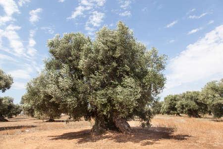 puglia: olive trees in the Salento, Puglia, Italy
