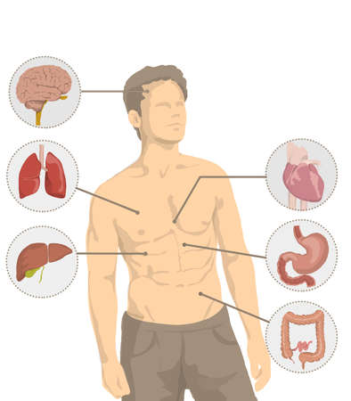 Illustration of shirtless man with the main organs of the human body, heart, brain, intestine, stomach, lungs Illustration of shirtless man with muscles and human proportions