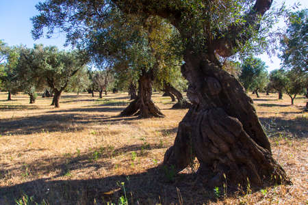 Olives trees in the Salento countryside with branches infected with xylella Olives trees in the countryside of Puglia during a hot sunny day
