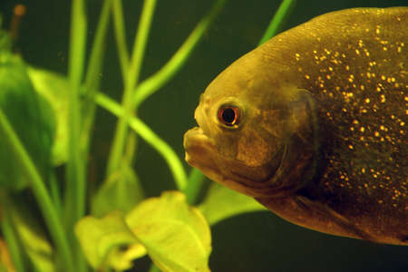 dep�sito de agua: Piranha closeup in clear water tank with plants in background