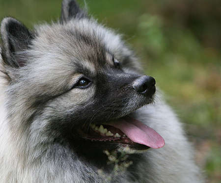 bred: Keeshond