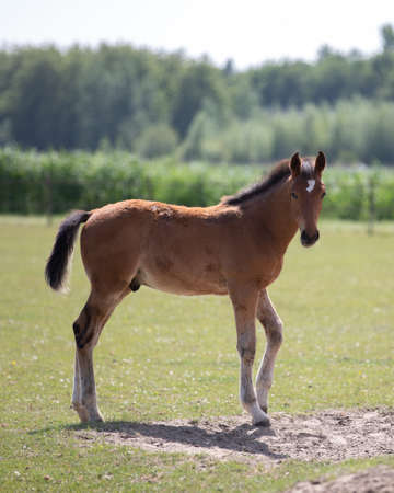 Beautiful brown foal looks into the camera on a sunny day