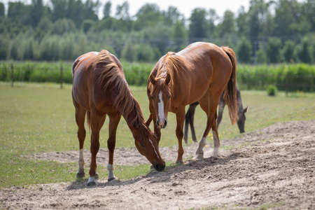 Beautiful brown horses graze in the pasture near sand