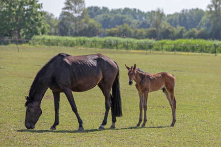 Nice black horse and brown foal looks into the camera in sunny day