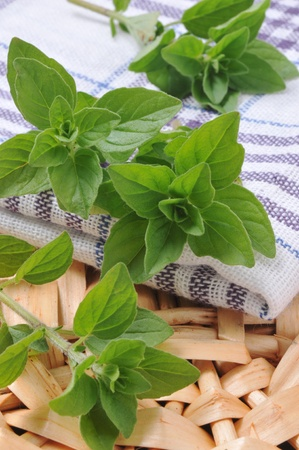 oregano plant: Fresh oregano in a basket