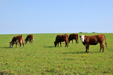 domestic cattle: Cattle grazing on the pasture. Stock Photo