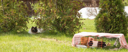 cavie: Cat is hunting guinea pigs in country yard Archivio Fotografico