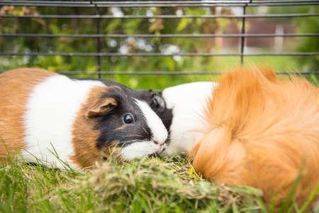 cavie: Le cavie in una gabbia in estate