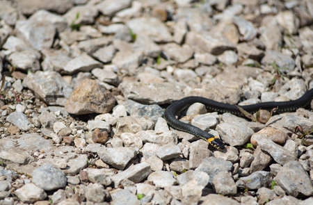 grass snake: big grass snake lays on the rocks