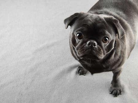black pug: Cute black pug dog standing on a carpet