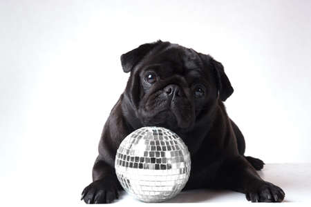 Black pug with a disco ball infront of