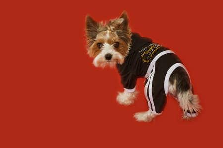 silky terrier: Silky Terrier volt� per reciving un dolce. Focus sul muso. Archivio Fotografico