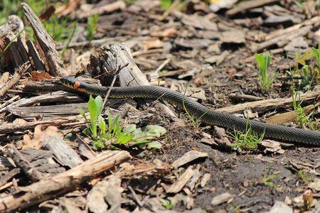 grass snake: grass snake