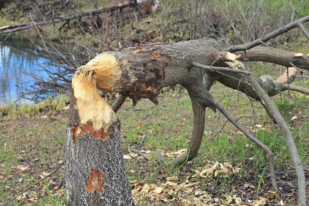 vermin: work of beaver Stock Photo