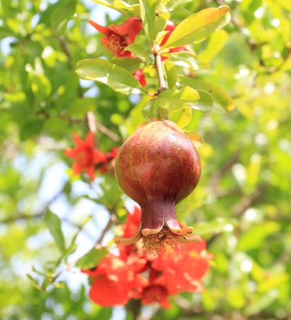 pomegranate, Stok Fotoğraf