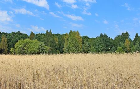 field crop: wheat field