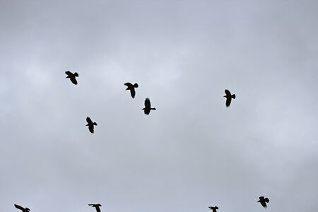 flock: a flock of crows