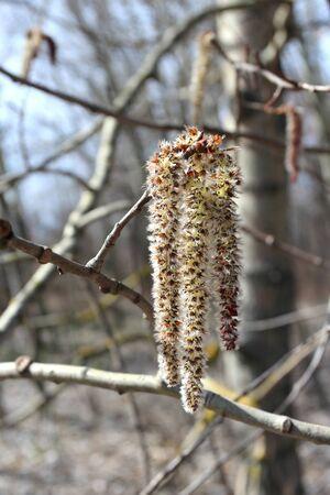 buds: spring buds