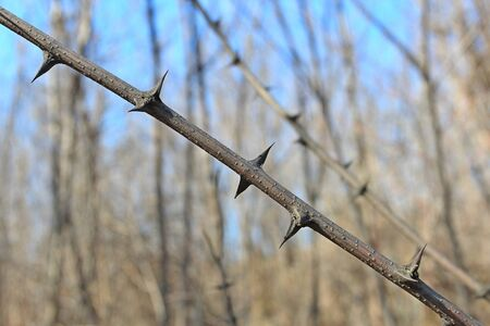 trees with thorns: spiny branch