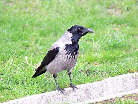 nosy: nosy crow