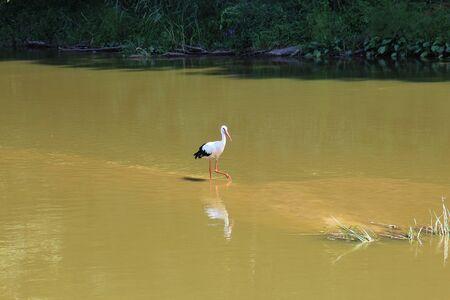 heron: Heron looking for prey