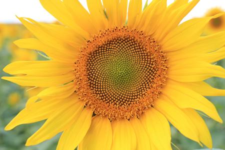mosaic: sunflower mosaic heart