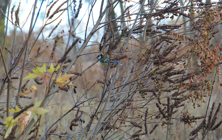thickets: titmouse in thickets