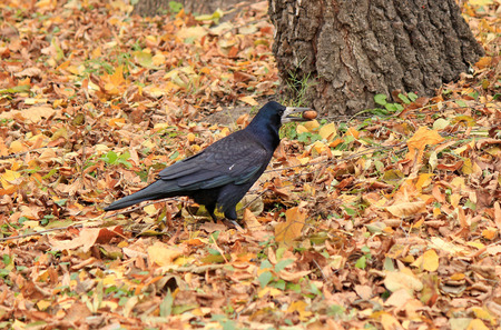 voracious: lucky find crows