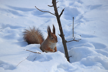 squirrel in the snow looking for a nut Stock Photo