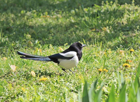 a magpie on the lawn
