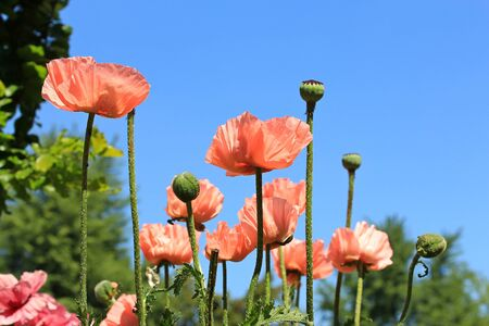 blossoming of poppies Stock Photo