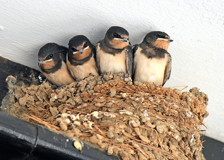 Chicks of swallows wait for food Stock fotó