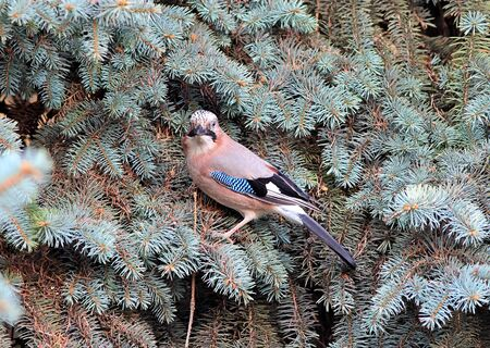the jay hides in the branches of the spruce