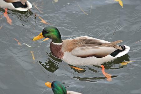 Drake participates in a swim on a pond