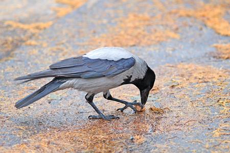 a hungry crow eats a nut Stock Photo