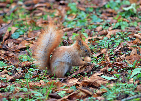 the squirrel gnaws nut Stock Photo