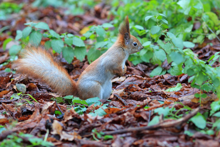squirrel among the fallen-down autumn leaves Stock Photo