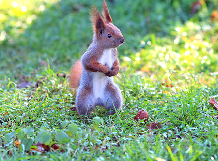 Squirrel has found tasty nut Stock Photo