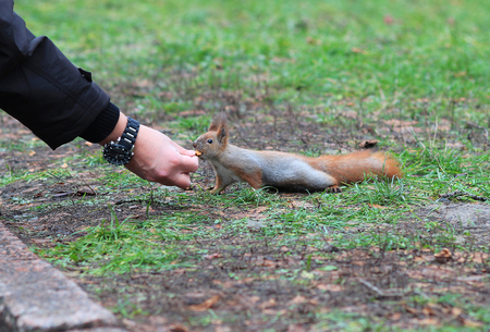 the squirrel takes nut from the girls hand Stock Photo