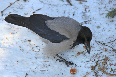 portrait of a wise bird of a crow on snow Stock Photo