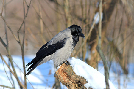 cautious crow rests in the snow-covered forest
