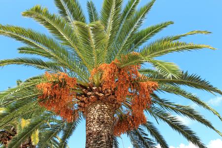 beautiful palm tree in Budva park in Montenegro