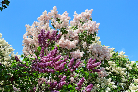 riot of spring lilac bloom