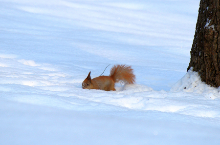 squirrel eating a nut in deep snow Stock Photo