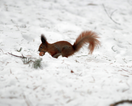 squirrel eating on snowy landscape.